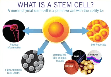 What are the different types of Stem Cell?