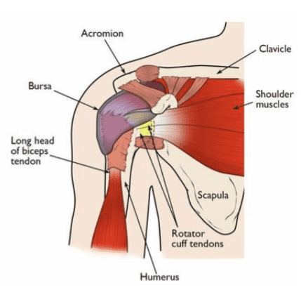 The rotator cuff keeps your arm in your shoulder socket and helps you to lift and rotate your arm.