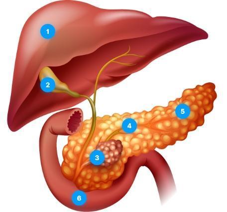 Diagram of the Pancreas