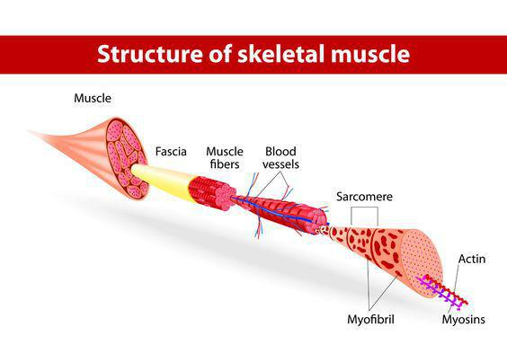 Fascia: The mystery tissue that holds you together: Lafayette ...