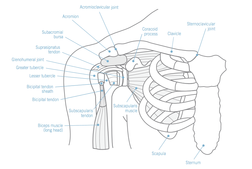 Shoulder Anatomy - Century City Los Angeles, CA: Millstein Orthopedics