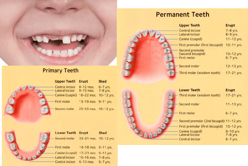 Baby Teeth Eruption Chart When Do They Come In And When Do They