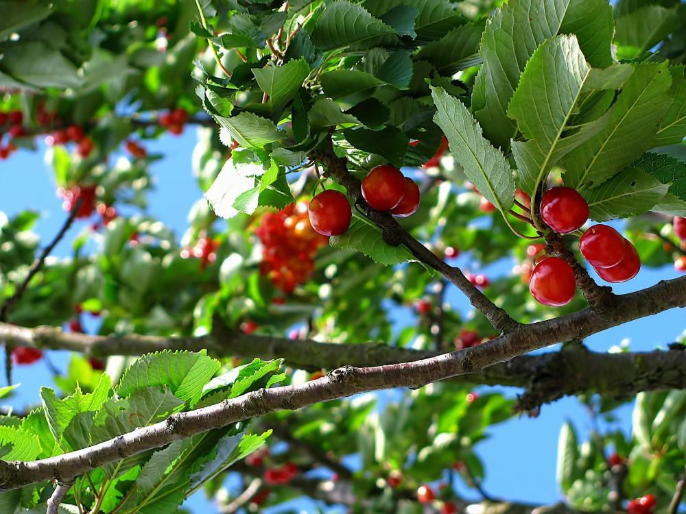 Cherries on tree branches