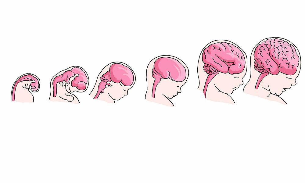 brain development of fetus