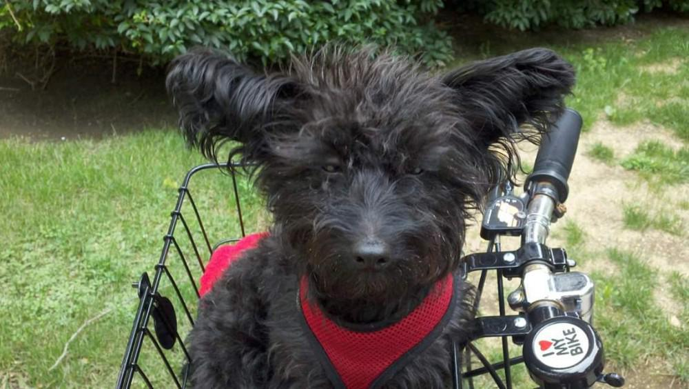 Small dog in bicycle basket