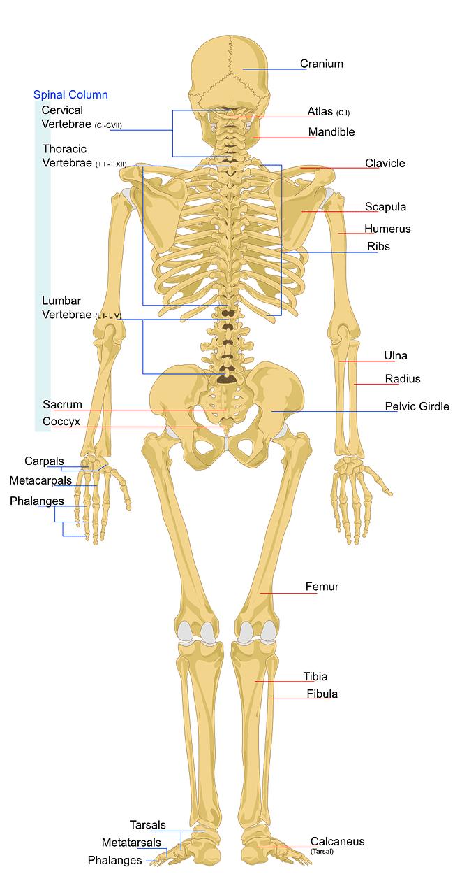 Skeletal System: shows the spinal vertabrae