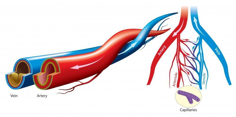 veins, arteries and capillaries
