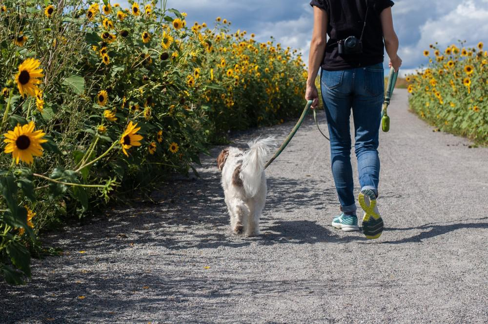 Image of the back of a person going for a walk with their dog on a path that goes through a field of sunflowers.